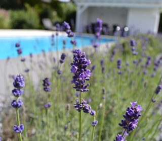 Lavendel am Pool